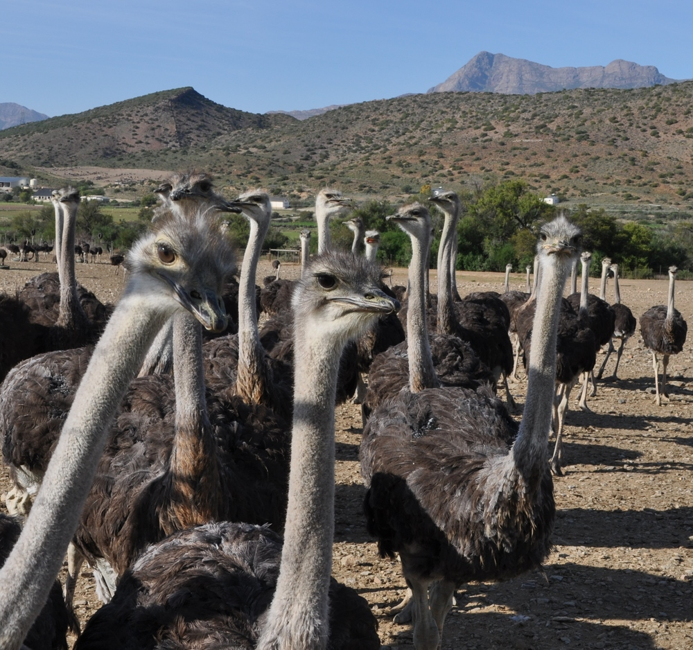 Ostrich on a farm near Meiringspoort