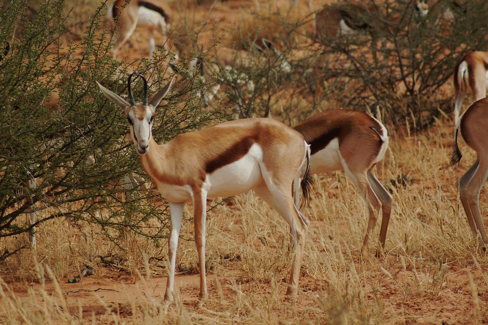 A small herd of springbok in the Kalahari