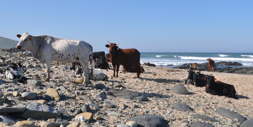 Cows on the beach near the 4x4 meeting point