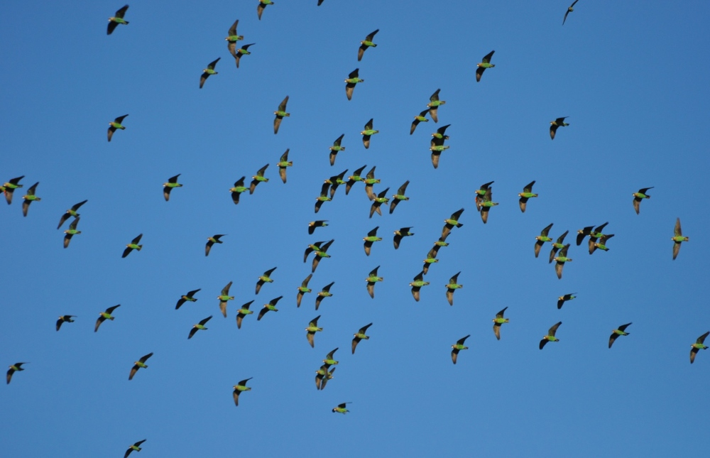 80 Cape parrots in one view finder