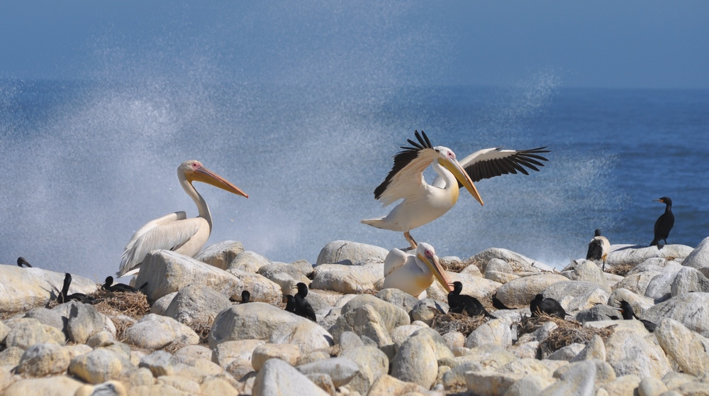Pelicans looking for gannet and cormorant chicks to eat alive