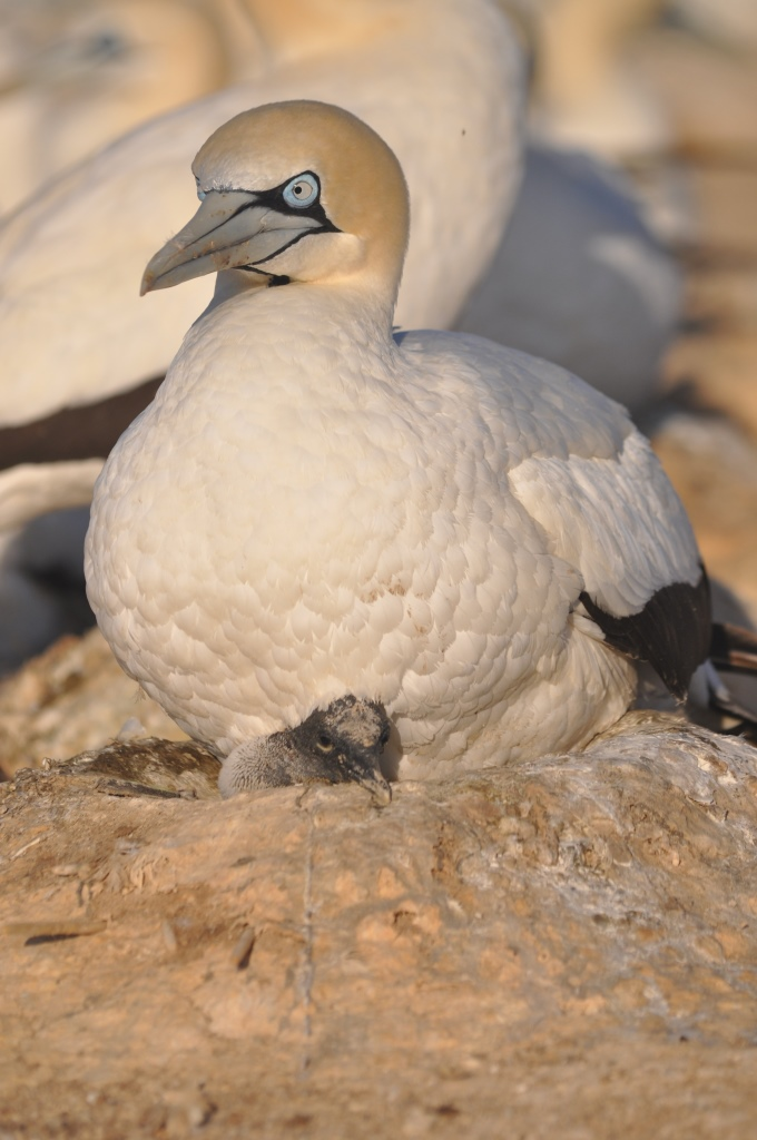 A gannet mother and chick on Malgas