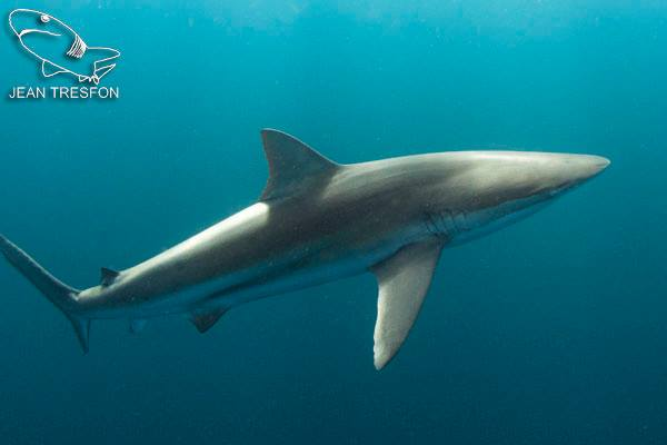 A copper shark (before)