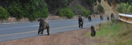 Baboons near Cape Point, Cape Town