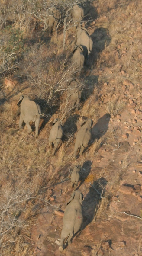 Elephants from the darting helicopter (note the dye on the closest elephant's rump - marking that she's been darted). Credit:André Burger