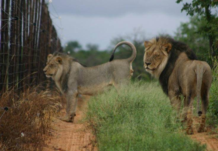 All wild South African lions are surrounded by fences. Copyright Rox Brummer.