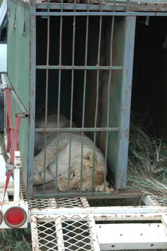 A lion translocation. Copyright Susan Miller.