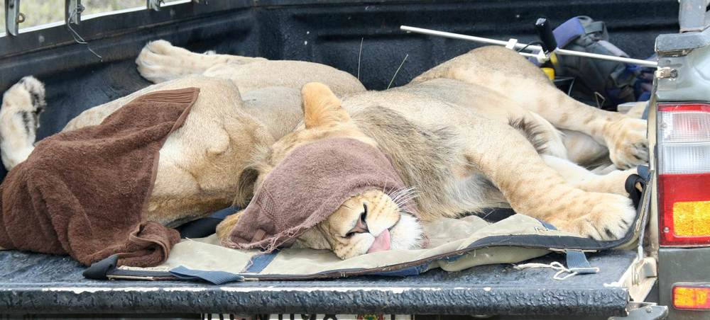 A lion being translocated. Copyright Susan Miller.