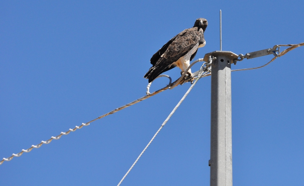 Telegraph poles in the area have been adapted to lessen RFI. A Martial Eagle liked this one.