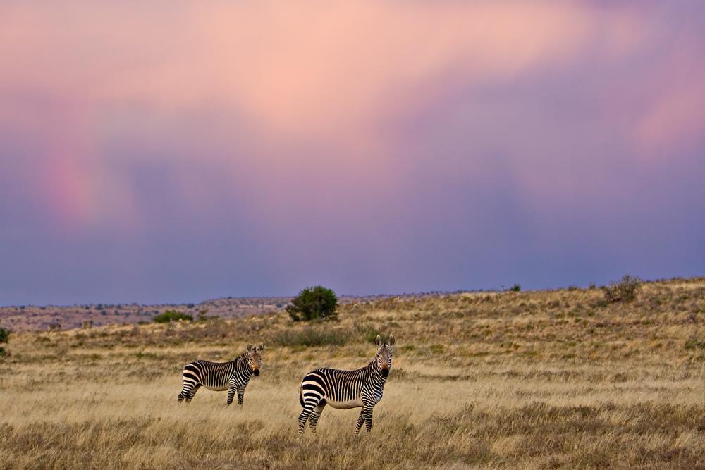 Mountain Zebra in their eponymous national park. Credit: Johannes van Niekerk. Copyright SANParks.