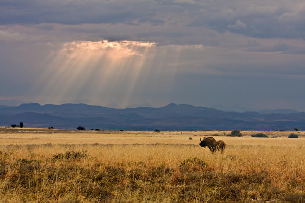 A wildebeest in Mountain Zebra National Park. Credit: Johannes van Niekerk. Copyright SANParks.