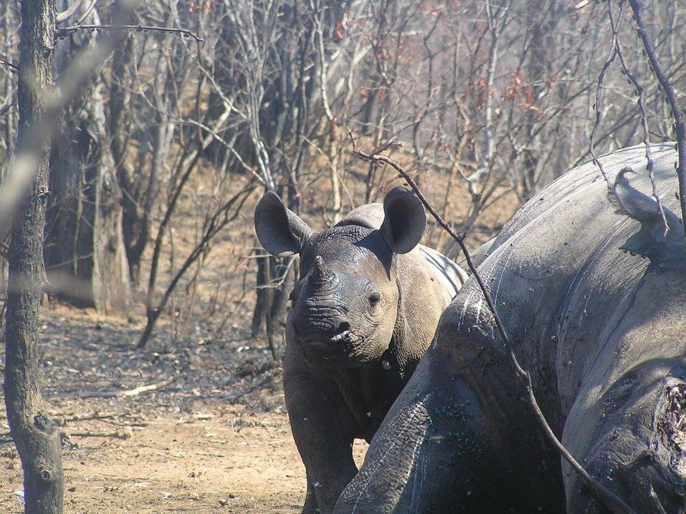 A black rhino calf, next to its poached mother. Copyright: Lowveld Rhino Trust.