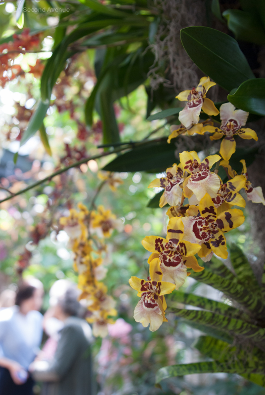 New-York-Botanical-Gardens-orchid-Show-189.jpg