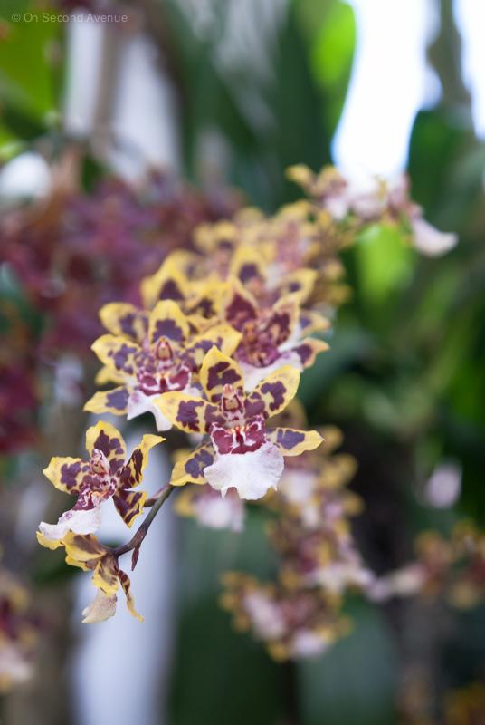 New-York-Botanical-Gardens-orchid-Show-393.jpg