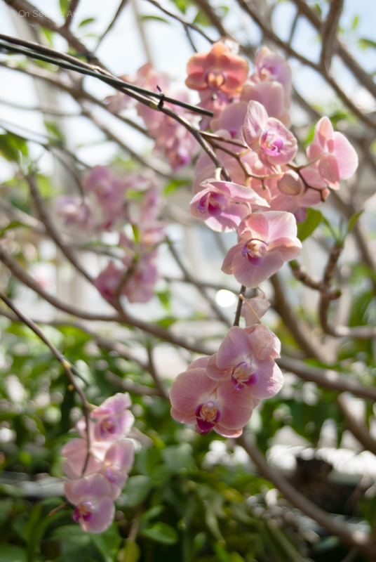 New-York-Botanical-Gardens-orchid-Show-343.jpg