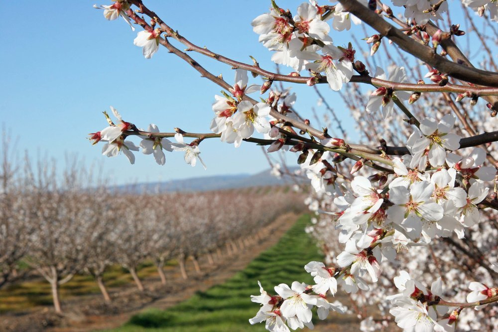 Almond orchard trees