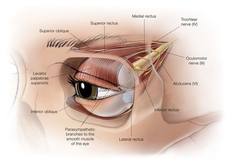Extraocular Muscles And Cranial Nerves Lavonne Carlson