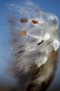 Milkweed_seeds_blown_by_wind.jpg