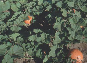 A pumpkin patch at Stahlbush Island Farms, Oregon (photo by Gary Wilson, USDA Natural Resources Conservation Service).
