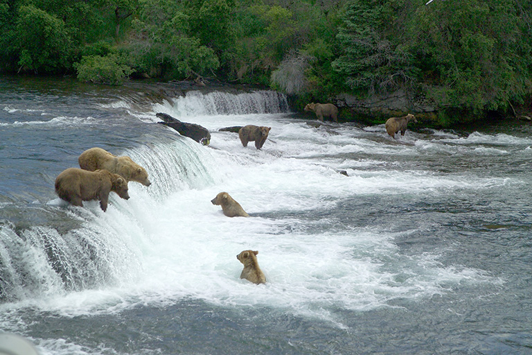 Brown bears seek concentrated food resources (salmon, sedges, carcasses, etc.) to fatten up for winter hibernation. (Photo credit: Katmai National Park and Preserve, courtesy National Park Service).