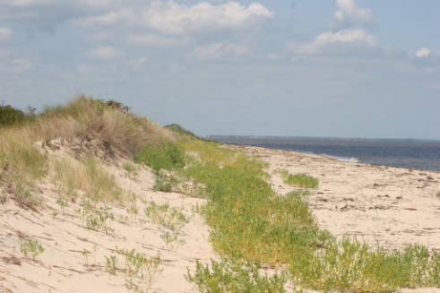 Sand dunes along the beach at Prime Hook National Wildlife Refuge, Delaware (Photo by Bill Butcher, September 9, 2010; courtesy U.S. Fish and Wildlife Service).