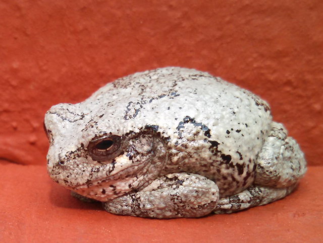 Gray Treefrog (Image by Bruce Bellenir, March 2017; reprinted with permission)
