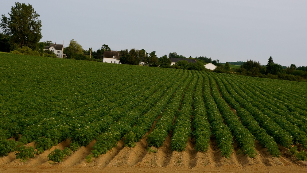 Blossoming Maine potato crop in Fort Fairfield, Maine.