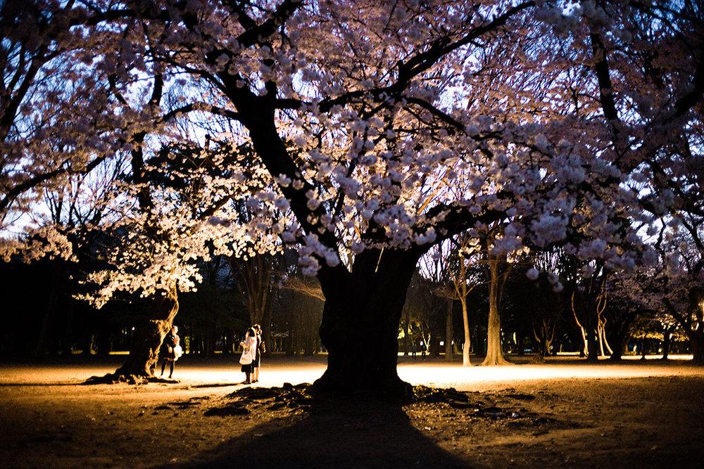 Japan Sakura, 2015