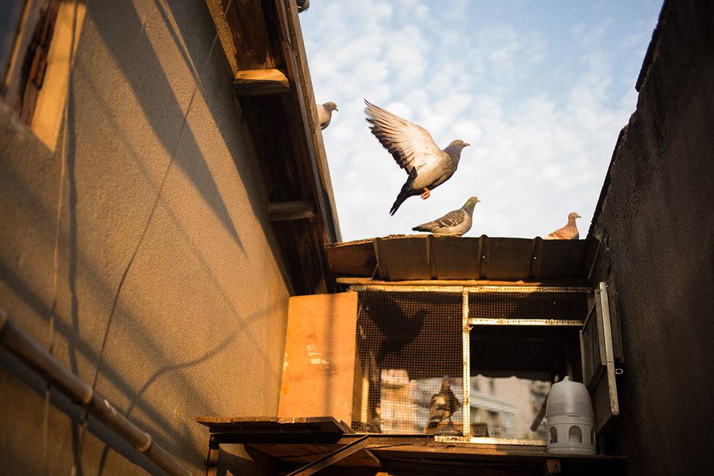 Shanghai Pigeons