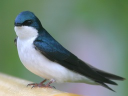Tree-Swallow.jpg