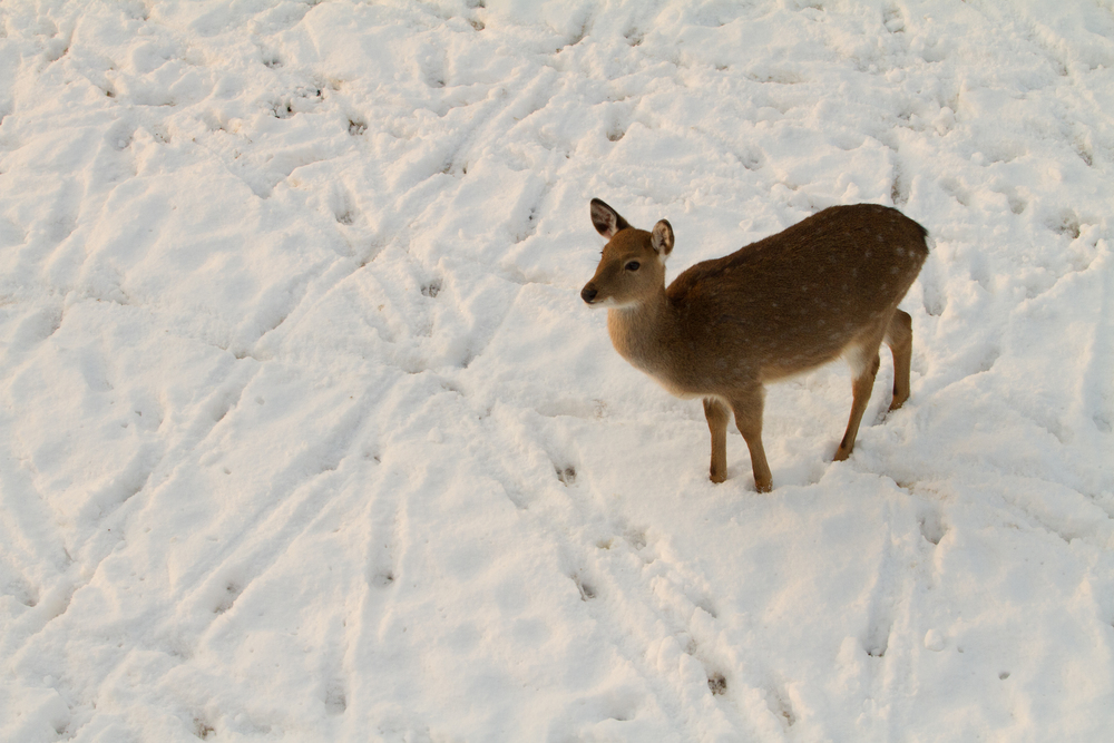 A Formosan Sika Deer standing in the snow.
