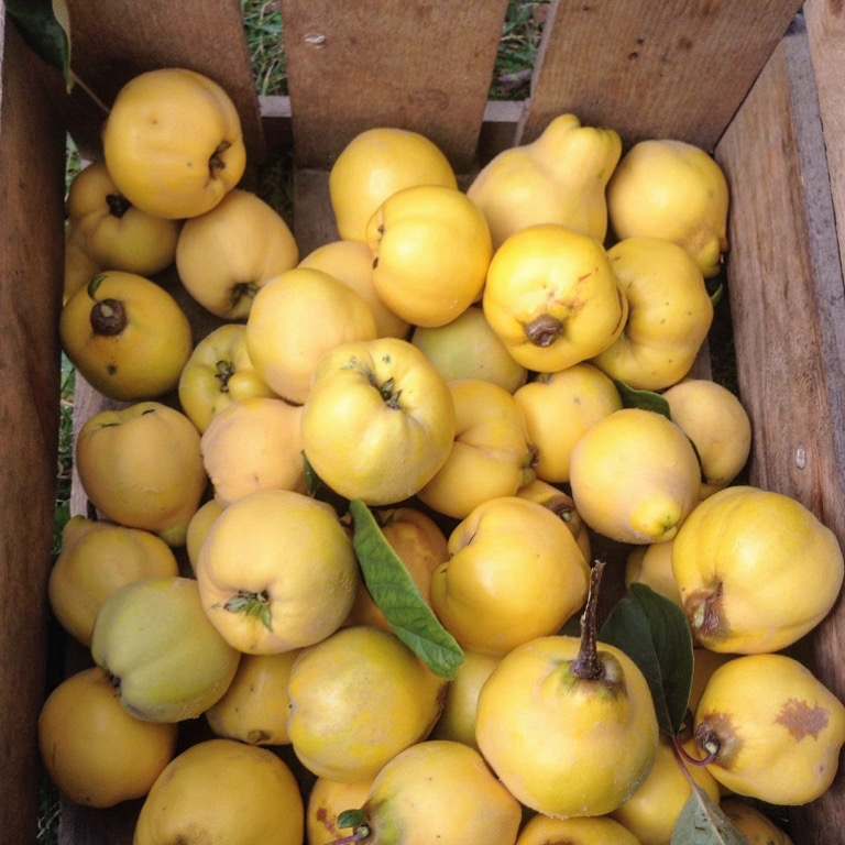 A box of fragrant quinces from my parents' orchard.