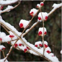 red_berries_in_the_snow_2_194883.jpg
