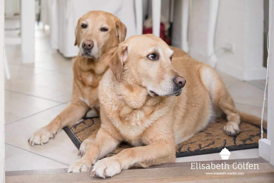 Two Labrador retrievers lying on the floor waiting