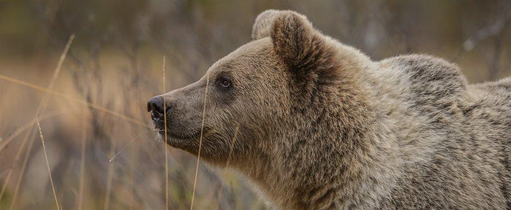 bear-watching-in-macedonia.jpg