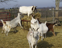 Windhover Farm Goats Play King of the Hay Feeder