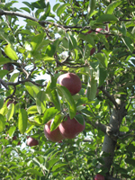 Reed Valley Orchard apple tree