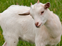 Small Goat