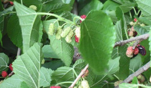 Best Tasting Berry: Mulberry!