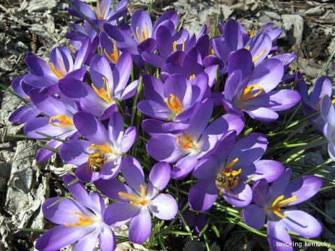 Bees in crocuses, downtown Lexington, Kentucky
