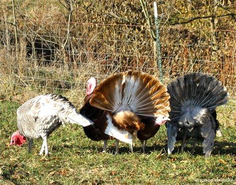 Elmwood Stock Farm turkeys, 2008