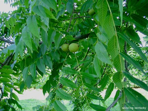 Immature black walnuts on Reed Valley Orchard Tree