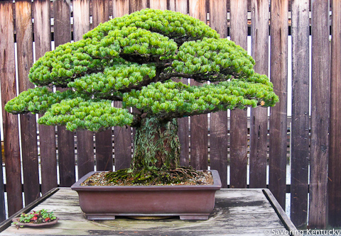 Almost 400-year old bonsai at National Arboretum, Washington, DC