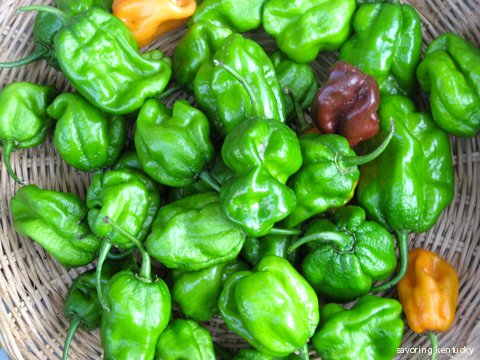 Bhut Jolokia peppers from Cleary Farm, Kentucky