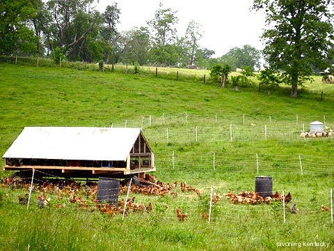 One of Elmwood Stock Farm's Chicken Tractors