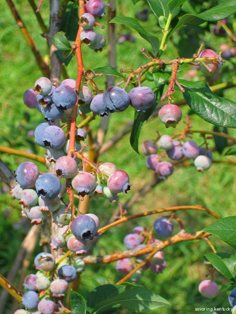 Blueberries at Reed Valley Orchard, Kentucky