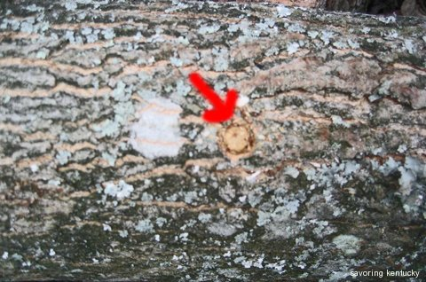 Dowel Spawn (Shiitake) Inserted into Log, not waxed