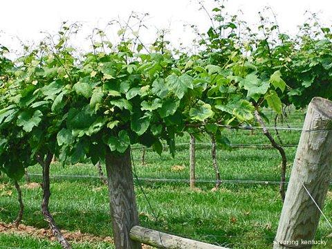 Vines at Lovers Leap Vineyard, KY