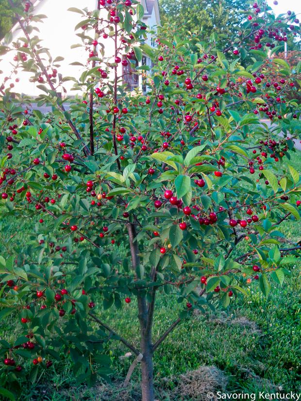 Montmorency cherry in full fruit
