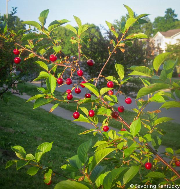 Cherries in my neighborhood